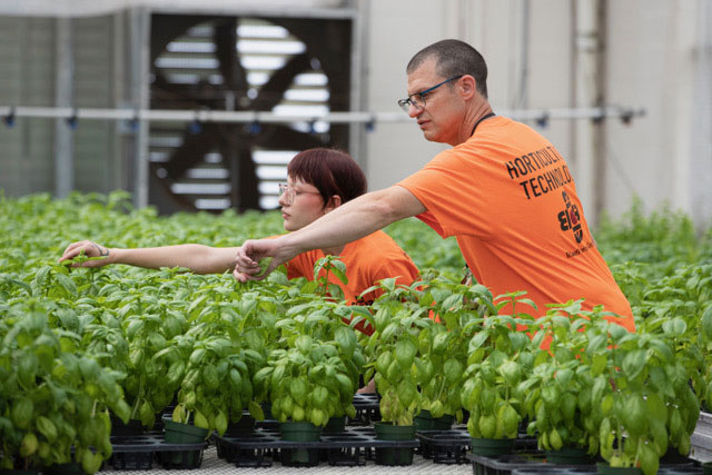 Bidwell's Horticulture Technology students picking basil from a plant.
